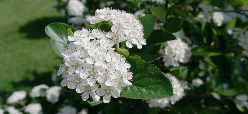 Aronia Apfelbeere Blüte