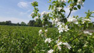 Blütezeit auf der Aronia Plantage