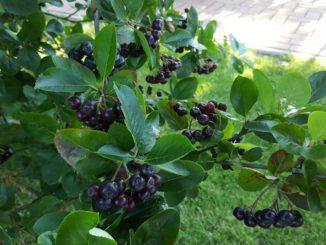 Aronia Pflanzen Nero Ertrag