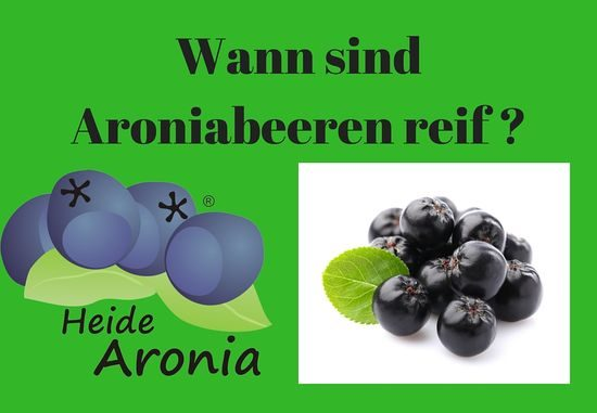 wann sind aroniabeeren reif wann kann ich aronia ernten. Black Bedroom Furniture Sets. Home Design Ideas