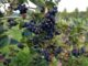 Bio Aronia Pflanzen Verkauf
