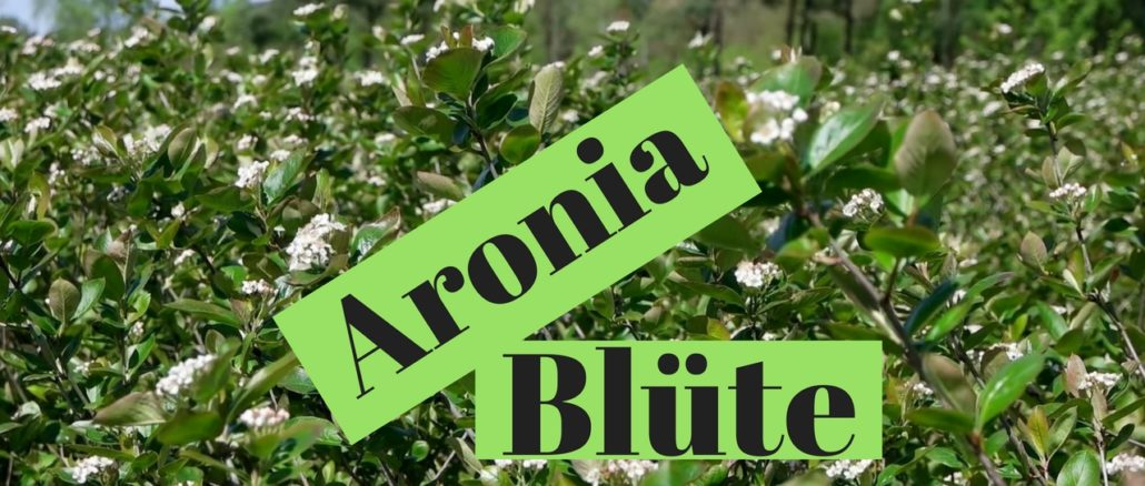 Aronia Blüte Aronia Plantage