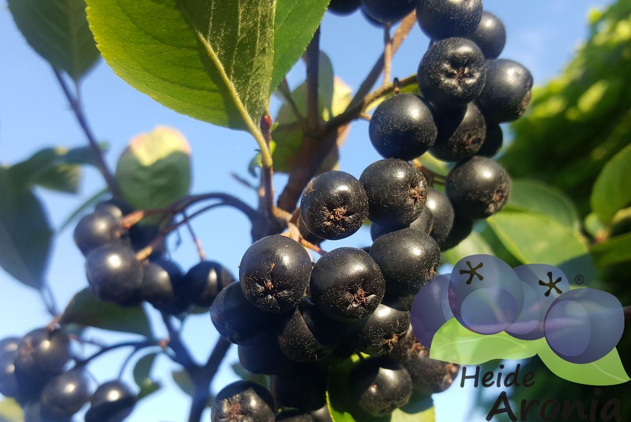 aronia pflanzen im garten pflanzen aroniabeeren strauch kaufen. Black Bedroom Furniture Sets. Home Design Ideas
