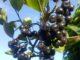 Aronia Pflanzen im Garten